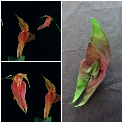 orquidea lepanthes
